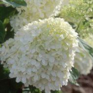 Hydrangea paniculata - Panicle hydrangea flowers