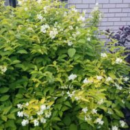 Philadelphus coronarius 'Aureus' in the garden