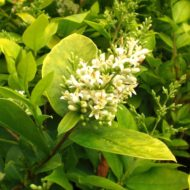 Ligustrum vicaryi Vicary Golden Privet flower bloom