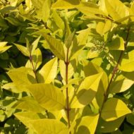 Golden privet - Vibrant foliage of Ligustrum vicaryi