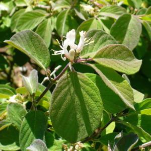Lonicera xylosteoides 'Clavey's Dwarf' flower