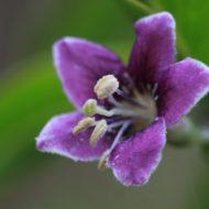 Lycium barbarum flower