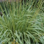 Variegated Moor Grass - Molinea caerulea 'Variegata' - variegated shade grass