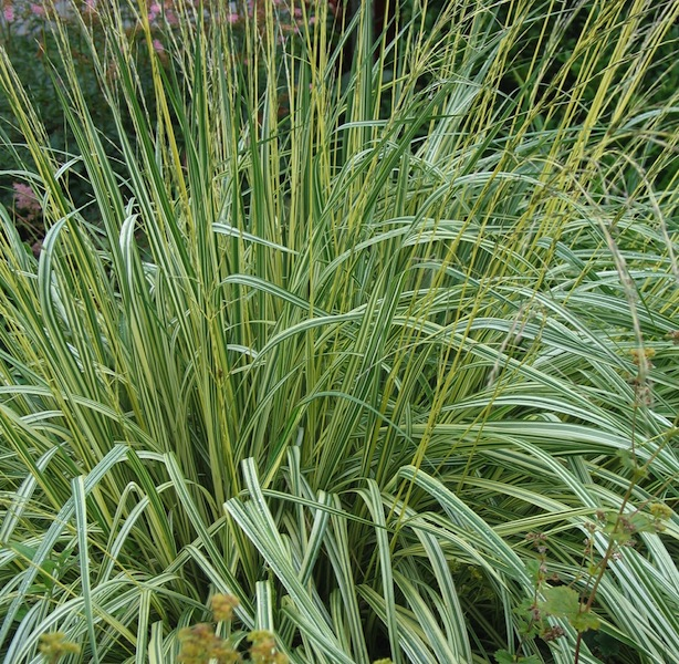 Variegated moor grass molinia caerulea 39 variegata 39 canada for Variegated ornamental grass