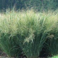 Panicum virgatum 'Heavy Metal' - Blue Switch Grass