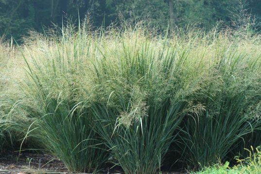 Panicum virgatum 'Heavy Metal' - Blue Switch Grass