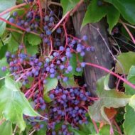 Parthenocissus tricuspidata 'Veitchii fruits'