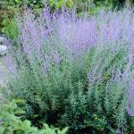 Russian Sage - Perovskia atriplicifolia