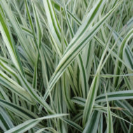 Variegated Ribbon Grass - Phalaris arundinacea 'Picta'