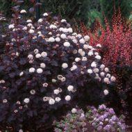 Physocarpus opulifolius 'Monlo' (Diabolo TM) Purple leaf Ninebark