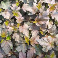 Physocarpus opulifolius 'Monlo' (Diabolo TM) young foliage