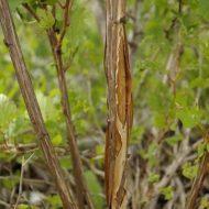 Physocarpus opulifolius 'Nugget' Dwarf Gold leaf Ninebark