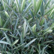 Pleioblastus fortunei - Dwarf White Stripe Bamboo