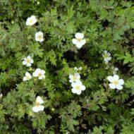 Potentilla fruticosa 'Abbotswood