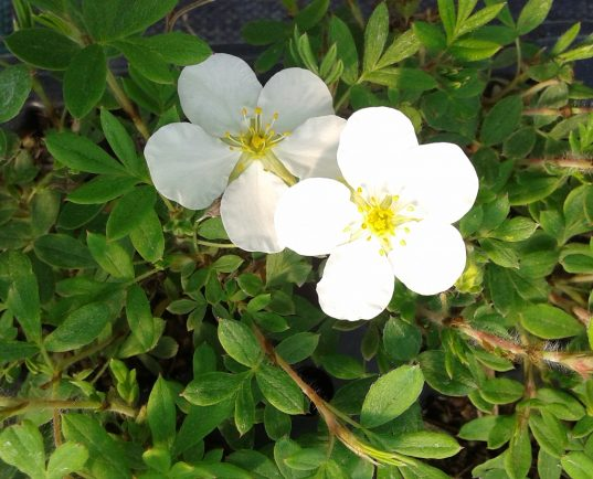 Potentilla fruticosa 'Abbotswood' flower in bloom