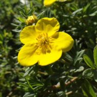 Potentilla fruticosa 'Goldfinger' flower