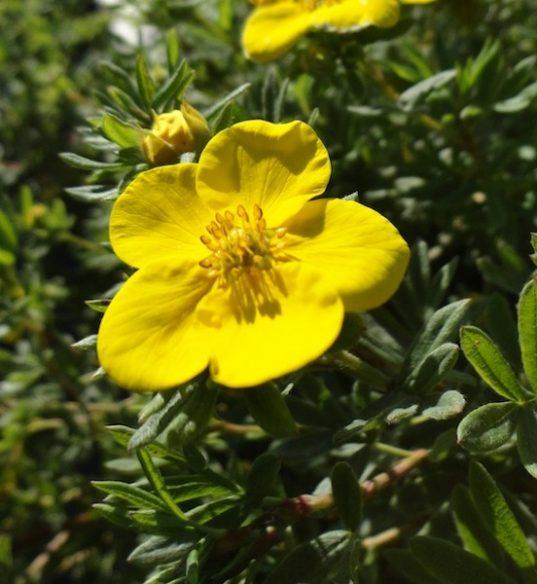 Potentilla fruticosa 'Goldfinger' flower