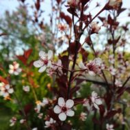 Prunus cistena Purple Sand Cherry