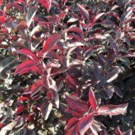 Prunus cistena new foliage