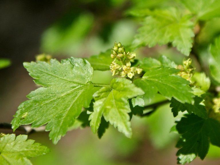 Ribes alpinum - Alpine Currant