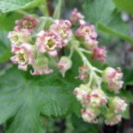 Ribes nigrum flowers
