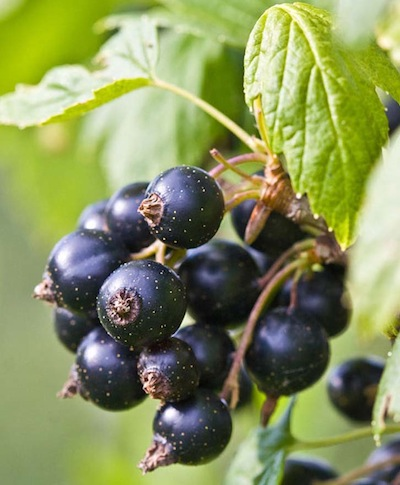 Ribes nigrum fruit