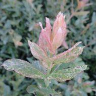 Dappled Willow - Salix integra 'Hakuro Nishiki' foliage