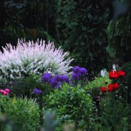 Salix integra 'Hakuro Nishiki' in the garden 1