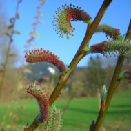 Salix purpurea 'Nana' Dwarf Arctic Willow
