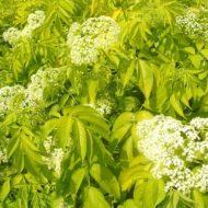 Sambucus canadensis 'Aurea flower'