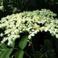 Sambucus canadensis flower