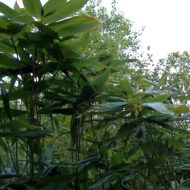 Sasa palmata - Broad-leaved Bamboo