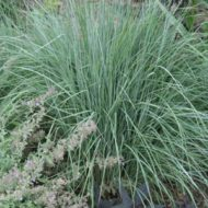 Schizachyrium scoparium - Little Bluestem
