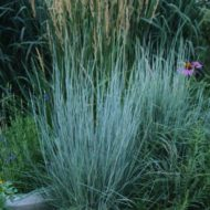 Schizachyrium scoparium - A young Little Bluestem in bloom