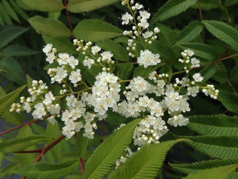 False Spirea - Sorbaria sorbifolia flower and leaves