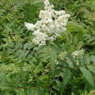 Sorbaria sorbifoliafor plant
