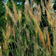 Indian grass in bloom - Sorghastrum nutans-