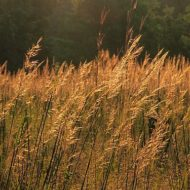 Sorghastrum nutans- Indian grass in autumn