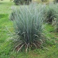 Sorghastrum nutans - Indian Grass habit