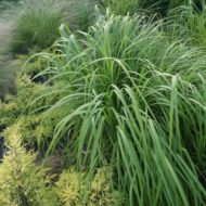 Prairie Cordgrass - Native Grass Canada - Spartina pectinata