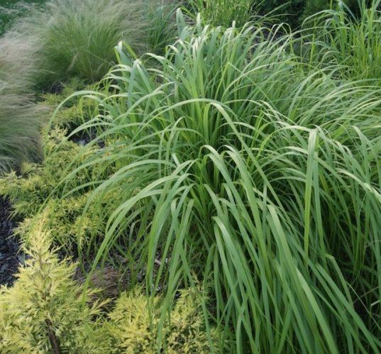 Prairie Cordgrass - Native Grass Canada - Spartina pectinata