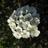 Spiraea vanhouttei flower