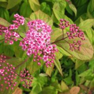 Spiraea japonica 'Macrophylla' - red tips spirea