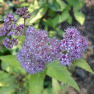 Spiraea bulmuda 'Goldflame' flower