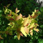 Spirea Goldflame - Spiraea bulmuda 'Goldflame'