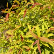 Spiraea bumalda 'Flaming mound' foliage