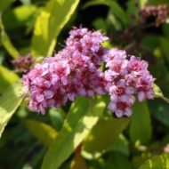 Spiraea bumalda 'Flaming mound' flower