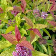 Spiraea bumalda x 'Flaming mound' - Flaming Mound Spirea
