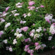 Spiraea japonica 'Shirobana' - White and Pink Spirea