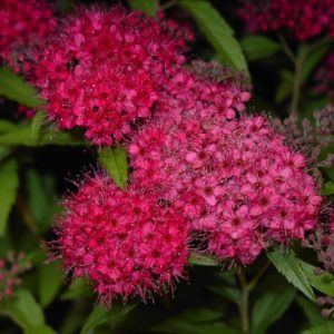 Spiraea japonica 'Anthony Waterer' flowers